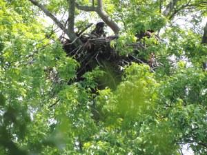bald eagle nestling