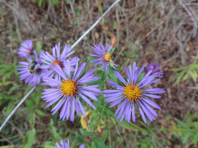 an aster blooms