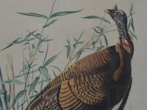 from an Audubon print