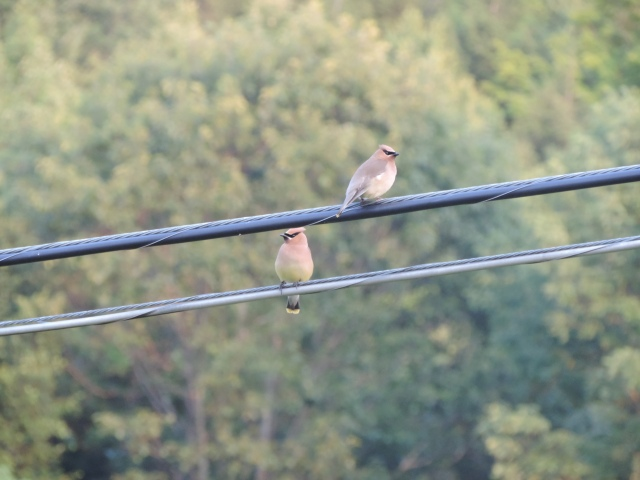 Cedar waxwings perch above a stonefly hatch...