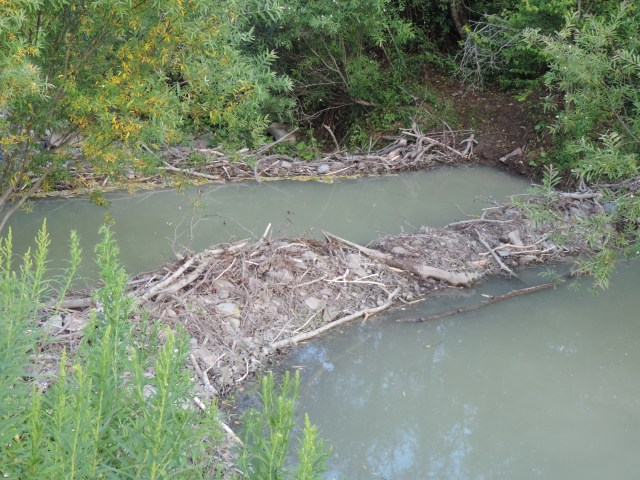 Double beaver dams near the house...