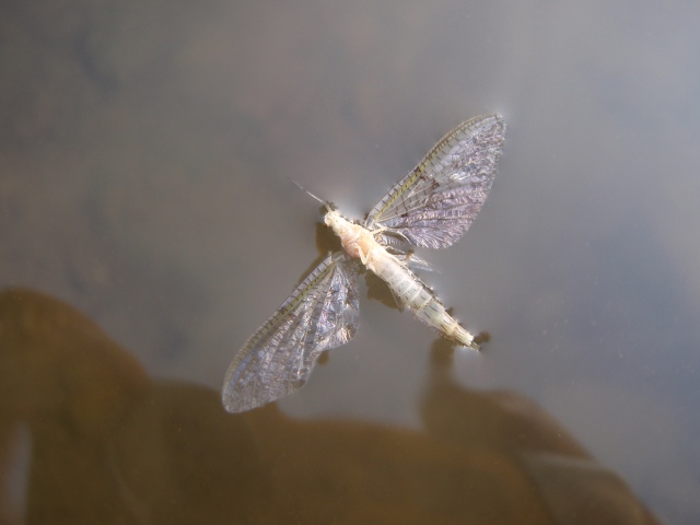 A mayfly spinner on the surface of Dyke Creek reminds me of the vast fragility found in much of nature...