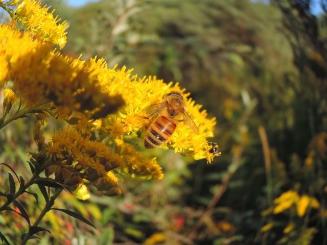 """honeybee on goldenrod, """"it's in there somewhere"""""""