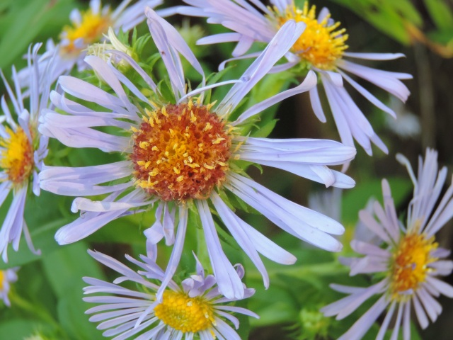 "asters, ""little stars,"" from the goddess Astrea"