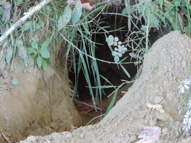 a new fox den or, with large pawprints, perhaps coyote