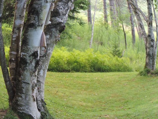 white birch thru every season