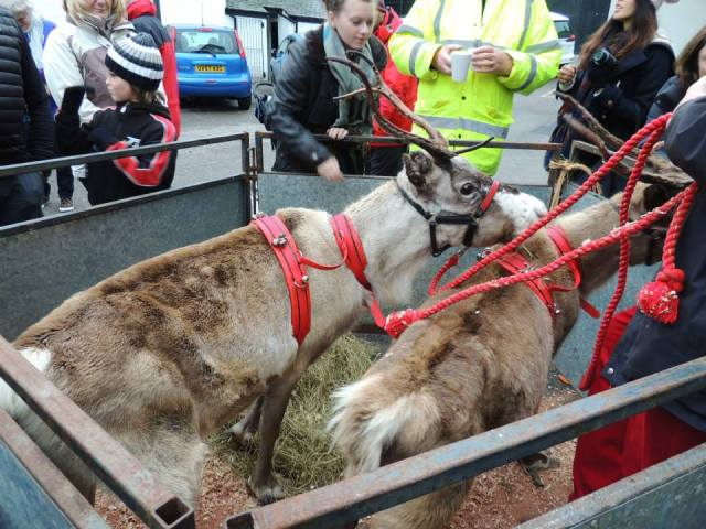 Reindeer, in time for Christmas