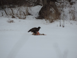 eagle on deer carcass
