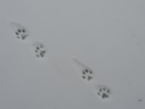 from the bobcat of Cryder Creek