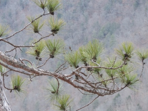 West Rim pines