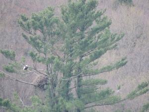 bald eagle nest in pine, Cryder Creek