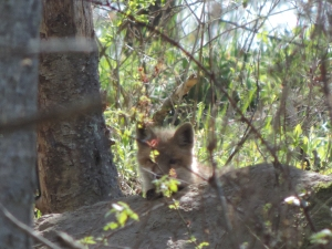 can you see me? i'm a red fox pup. at my den.