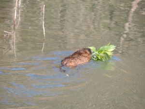muskrats have moved into the beaver pond