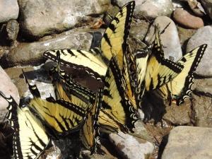swallowtail luncheon