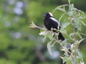 "bobolink-- a ""thing with feathers"""