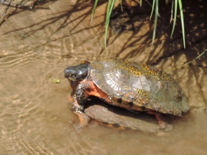 What consenting turtles do in the privacy of their own creek is none of my damn business, but....