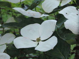 even the dogwood listened...