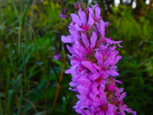 loosestrife, an invasive on the loose...