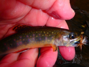 a score of small brookies too...
