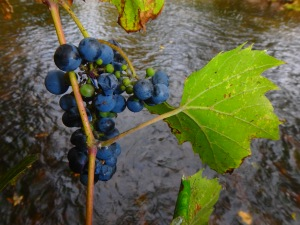 fruit of the vine is wild and tempting, neither too sweet nor too sour...