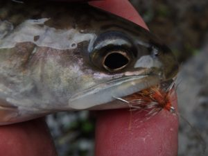on a dry fly