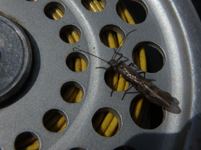 black stonefly on reel